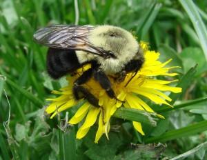 Bombus_impatiens,_Common_Eastern_Bumble_Bee,I_JSA719