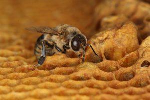 male4975381_6_9db3_une-abeille-male-sort-de-son-alveole_72dcf788f5e9354ca6126d26436e935d