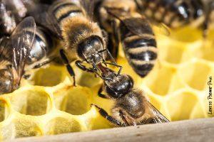 Trophallaxie © - https://lepidi-photo.blogspot.be/2014/07/ruche-abeilles-la-trophallaxie.html
