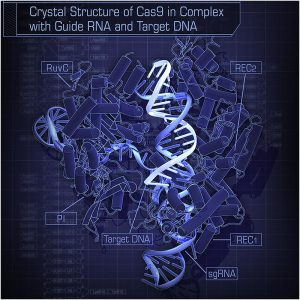 Hiroshi Nishimasu, F. Ann Ran, Patrick D. Hsu, Silvana Konermann, Soraya I. Shehata, Naoshi Dohmae, Ryuichiro Ishitani, Feng Zhang, and Osamu Nureki — Crystal Structure of Cas9 in Complex with Guide RNA and Target DNA - CC BY-SA 3.0
