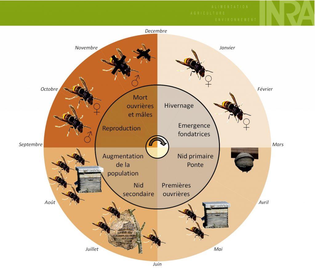 Cycle annuel du frelon asiatique (INRA)